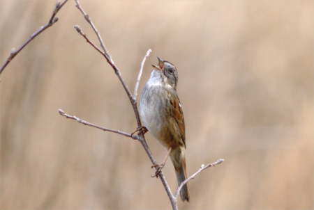 The Sometimes Skulking and Somewhat Sloppy Swamp Sparrow