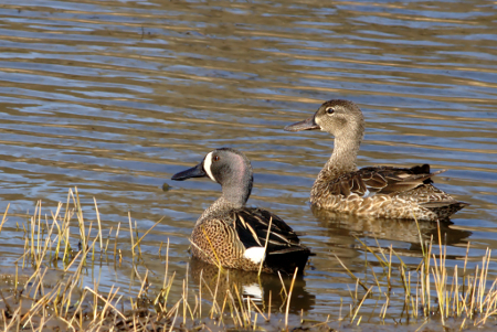 Ditch Ducks- Blue-winged Teal Edition