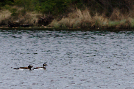 Third Wheel- Horned Grebe Can't Take a Hint