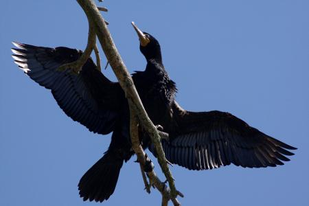 Double-crested Cormorant at LaPlatte Marsh