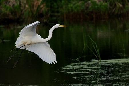 Great Egret Invasion