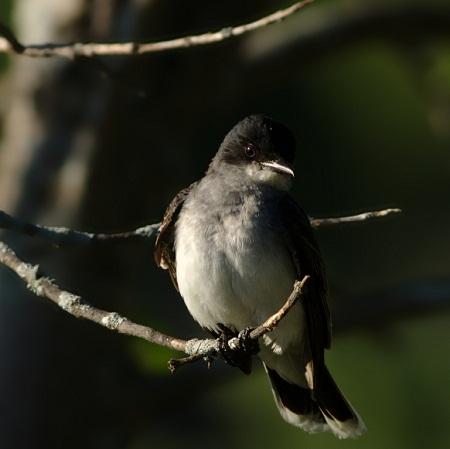 Posing Eastern Kingbird
