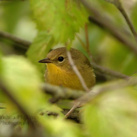 Common View of a Common Yellowthroat