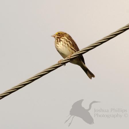 Bird on a Wire: Savannah Sparrow Edition