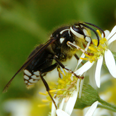 Other Flying Objects: White-Faced Hornet
