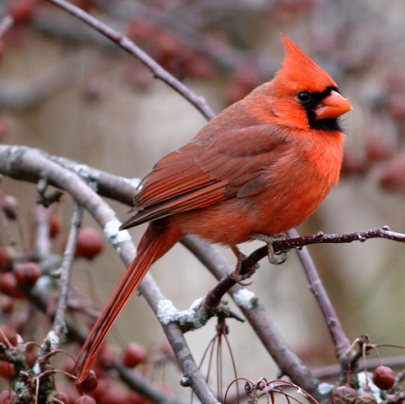 Cardinal Pair in the Crabapple
