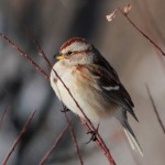 Tree Sparrows Have Finally Arrived!