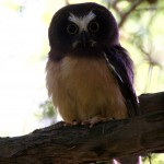 A Northern Saw-whet Owl with a Uni-brow