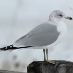 Northern Light- Ring-Billed Gull