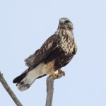 Rough-Legged Hawks Are Actually Pretty Fluffy