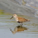 A Dunlin in Hinesburg