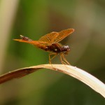 Other Flying Objects: Eastern Amberwing