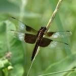 Other Flying Objects: Widow Skimmer