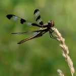 Other Flying Objects: Twelve-Spotted Skimmer