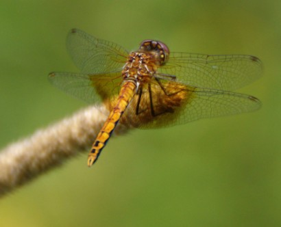 20130812-15-band-winged_meadowhawk-450