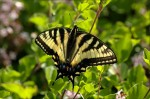 Other Flying Objects: Canadian Tiger Swallowtail