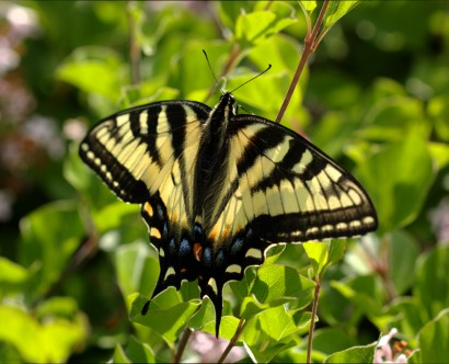 20140608-04-Canadian_Tiger_Swallowtail-1024