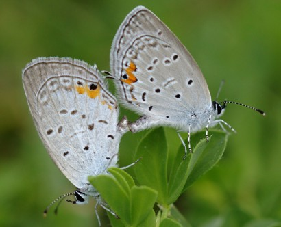 20140703-37-Eastern_Tailed_Blue-University_Heights-1024