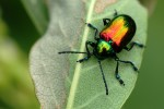 Dogbane Leaf Beetle Self Portrait