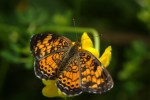 Other Flying Objects: Pearl Crescent