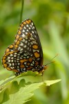 Other Flying Objects: Baltimore Checkerspot