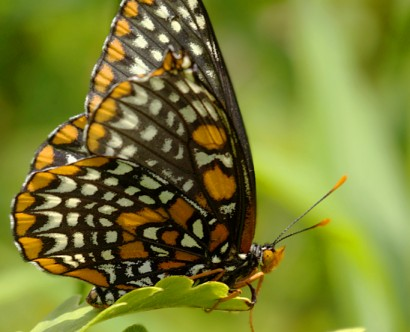 20140716-34-Baltimore_Checkerspot-Centennial_Woods-1024