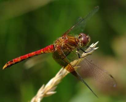 20140725-32-band-winged_meadowhawk-University_Heights-1024