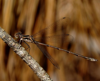 20130812-06-spotted_spreadwing-Centennial_Woods-1024